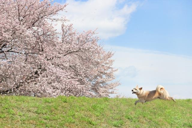 満開の桜と犬