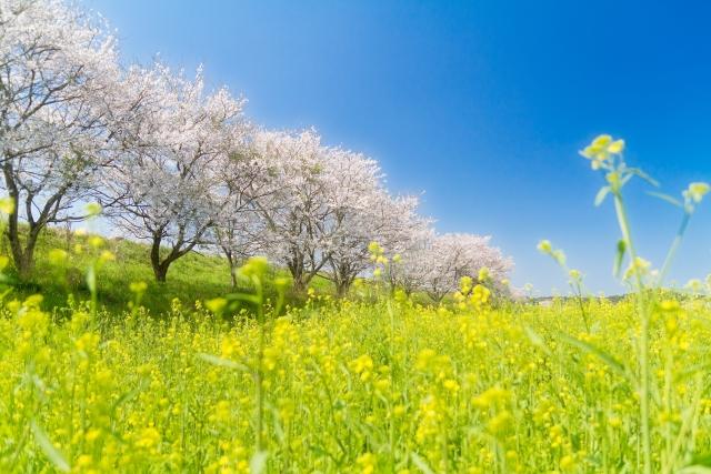 桜と菜の花畑
